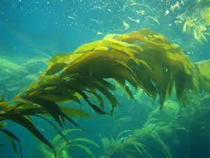 pacific kelp picture 2