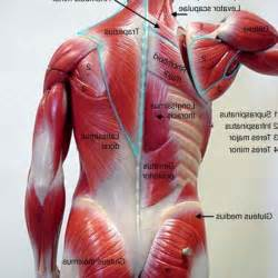 low back muscle psoais picture 1