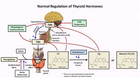 functions of thyroid gland picture 18