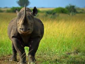 the rhinoceros has a penis about two feet long. picture 7