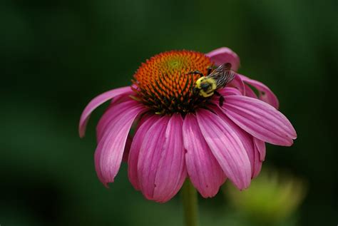 can pregnant women take echinacea picture 18
