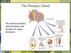 anterior pituitary gland picture 17