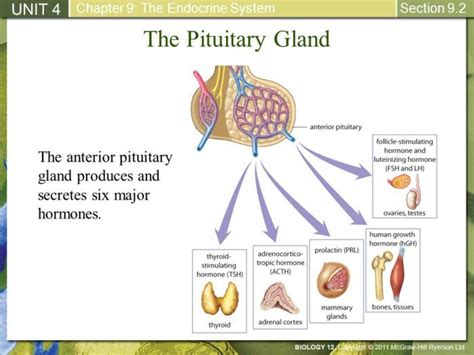 anterior pituitary gland picture 14