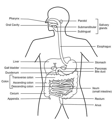 digestion diagram picture 2