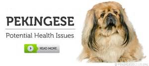 skin problems with pekingese picture 15