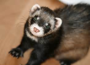 ferret digestion picture 14
