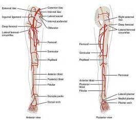 lower extremitie muscle picture 1