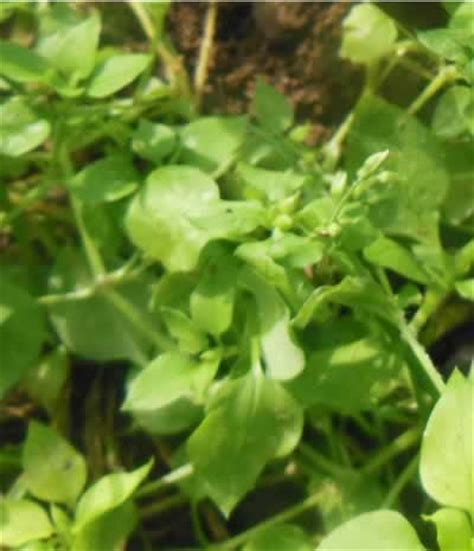 Chickweed Leaf picture 3