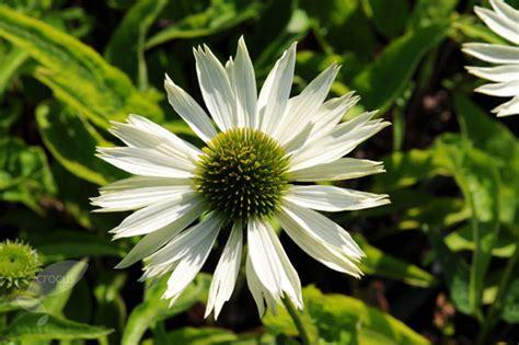 echinacea virgin picture 6