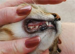 lip disease in cats picture 1