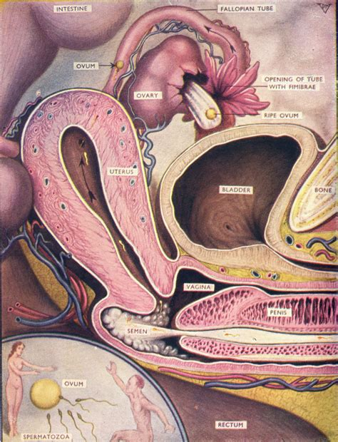 cross section of the penis ejaculating inside vergina picture 5