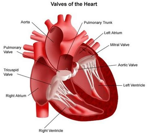 enlarged mitral valve herbal treatment picture 6