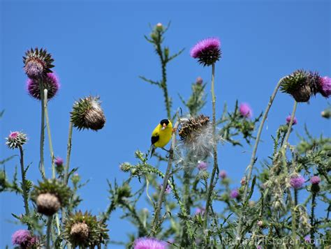 what birds eat thistle picture 6
