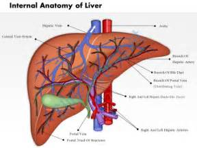 liver anatomy picture 5