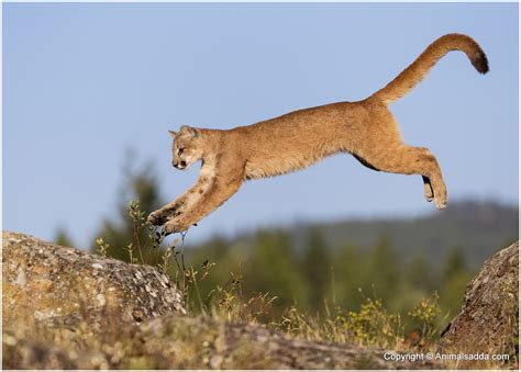 mountain lions diet picture 7