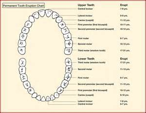forming of enamel in permanent teeth picture 11