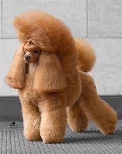 poodles h picture 7