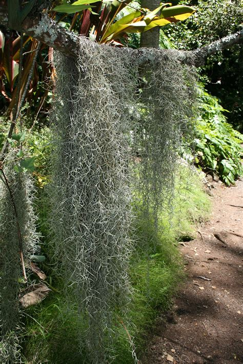what is spanish moss grandfather's beard french hair picture 7