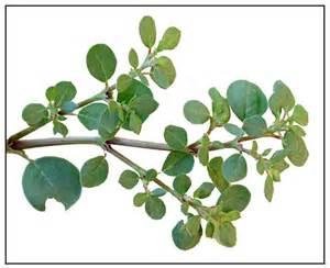 khoi herbal capsule picture 2