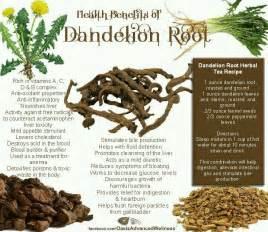dandelion root tea benefits picture 7