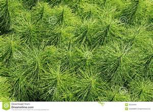 horsetail herb picture 15