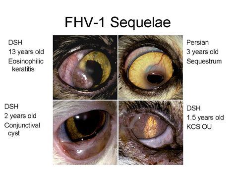 feline herpes conjunctivitis picture 10