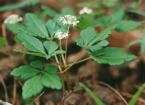 does red ginseng extract raise blood pressure? picture 18