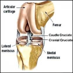 stifle knee joint sprain in dogs picture 15