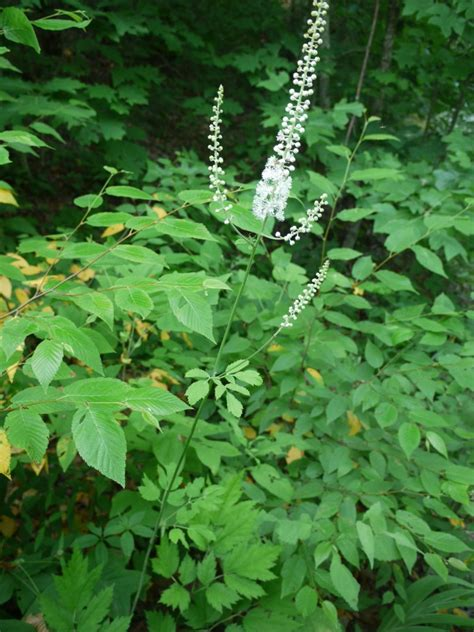 of black cohosh picture 1