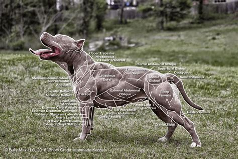 dog muscle pull picture 9