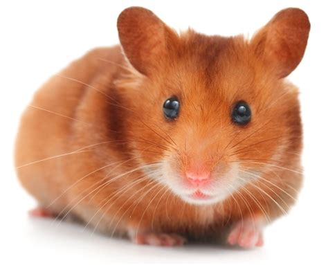 hamster videos picture 14