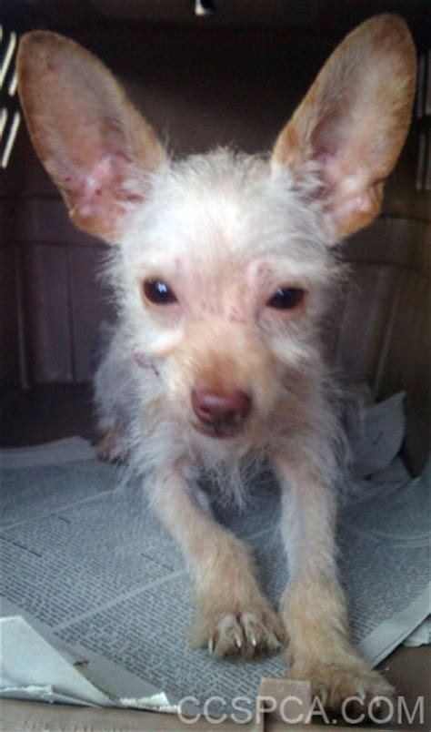 wired hair chihuahua picture 6