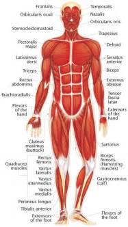 functions of muscle system picture 11