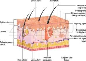 skin anatomy picture 7