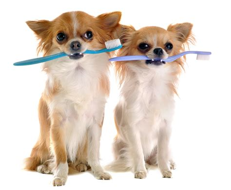 chihuahua teeth cleaning picture 3