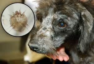 dogs skin mites picture 7