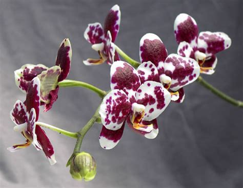orchid virility picture 7