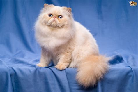 persian cats skin disorders picture 1