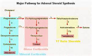 testosterone production in adrenal gland picture 19