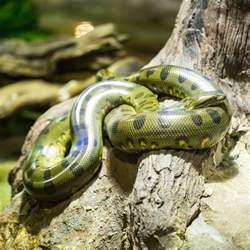 anaconda diet picture 1