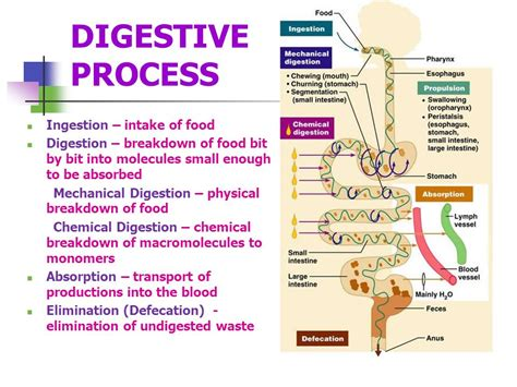 process of digestion picture 3
