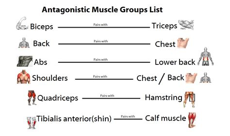 list of agonist/antagonist muscles picture 2