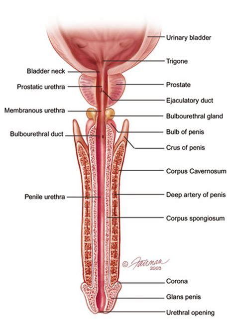 anatomy penis picture 10