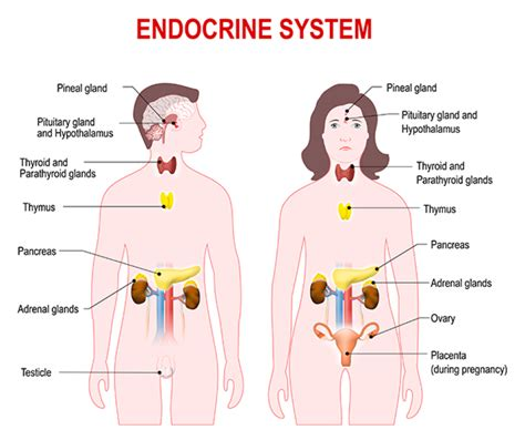 endocrine gland picture 7