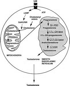 testosterone is produced by what cells picture 2