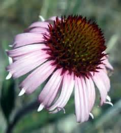 echinacea angustifolia picture 13