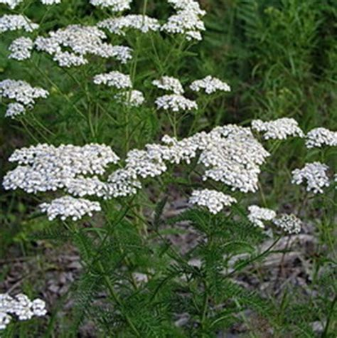 white yarrow flower essence canada picture 10