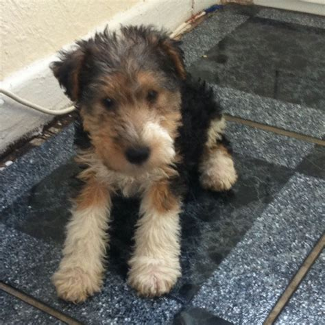 wire hair fox terrier rescue picture 15