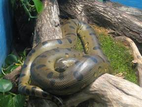 anaconda diet picture 15