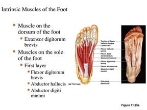 intrinsic muscle disease of the foot and ankle picture 5